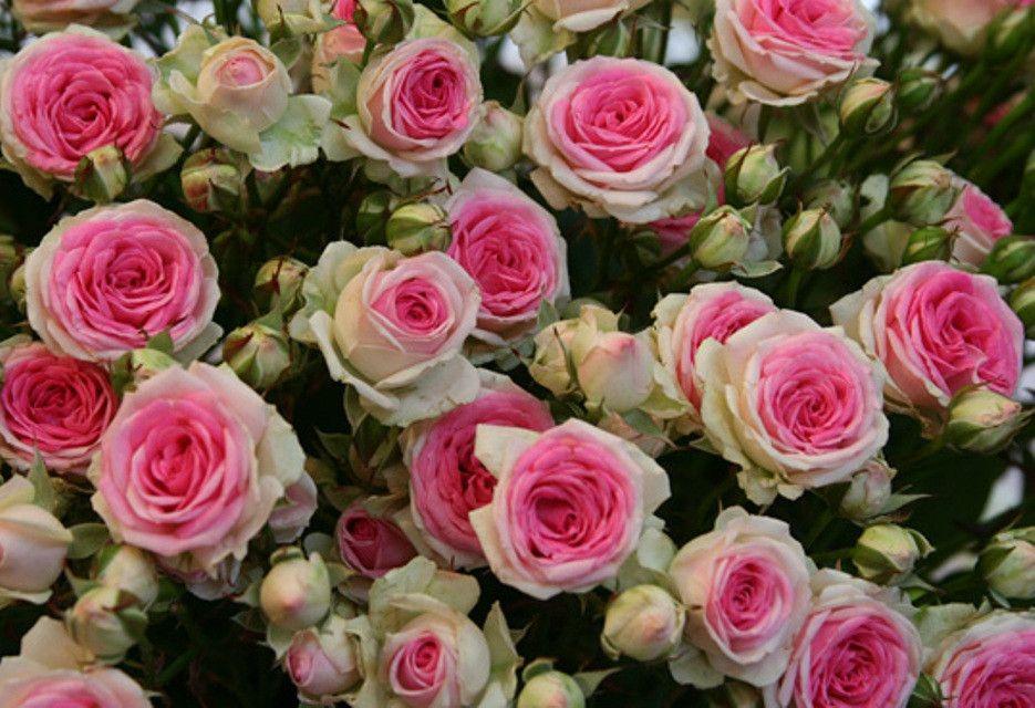 Розовые розы лучшие сорта с фото